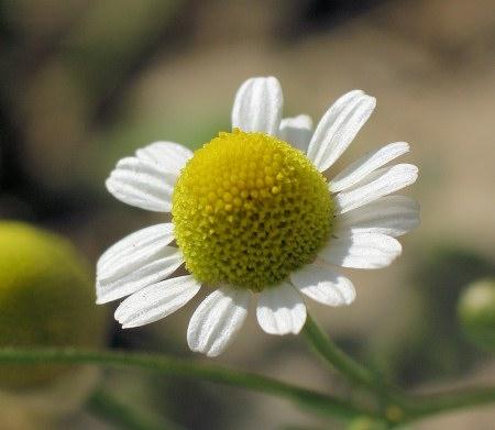 Matricaria-χαμομήλι